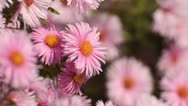Stock Video Footage of New England aster (Aster novae-angliae 'Rosa Sieger')