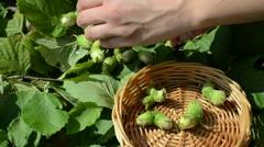 Hand put ripe hazel nutwood nuts to wicker wooden dish Stock Footage