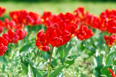 Red tulip .JPG Stock Photos