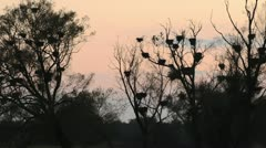 Abandoned cormorant nests on dead trees, Unteres Odertal National Park, Germany Stock Footage