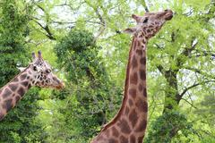 giraffes.JPG - stock photo
