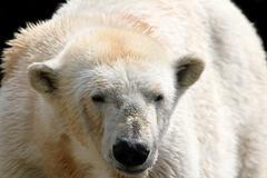 Stock Photo of polar white bear.JPG