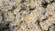 Bushy aster (Aster dumosus 'Apollo') Stock Footage