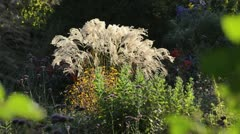 Stock Video Footage of Chinese silver grass (Miscanthus sinensis 'Flamingo')