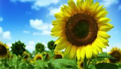 HD : Colorful Sunflowers field and deep blue Sky Stock Footage