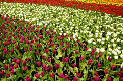 Tulip field Stock Photos