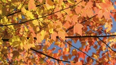 Red maple (Acer rubrum) - stock footage