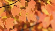Stock Video Footage of Red maple (Acer rubrum)