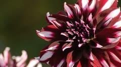 Decorative dahlia (Dahlia Tartan) Stock Footage