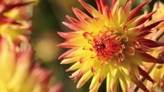 Semi-cactus dahlia (Dahlia Grossenhain) - stock footage