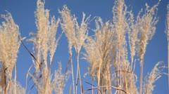 Amur silver grass (Miscanthus sacchariflorus) Stock Footage