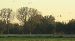 Greylag geese (Anser anser) Stock Footage