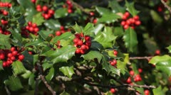 Common holly (Ilex aquifolium) - stock footage