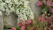 Aster (Aster speciosus 'Connecticut') and leadwort (Ceratostigma plumbaginoides) Stock Footage