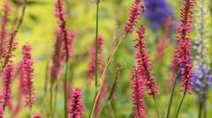 Knotgrass (Bistorta amplexicaulis 'Firetail' syn. Polygonum amplexicaule Stock Footage