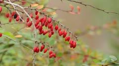 Common barberry (Berberis vulgaris) Stock Footage