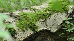 Moss on an overturned birch trunk - stock footage