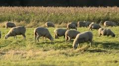 Flock of sheep, Oderwiesen Nature Reserve, Frankfurt (Oder), Germany Stock Footage