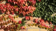 Japanese creeper (Parthenocissus tricuspidata) and common ivy (Hedera helix) Stock Footage