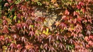 Stock Video Footage of Japanese creeper (Parthenocissus tricuspidata)
