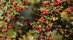 Spreading cotoneaster (Cotoneaster divaricatus) Stock Footage