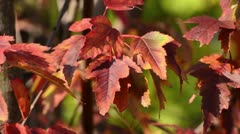Amur maple (Acer tataricum subsp. ginnala) Stock Footage