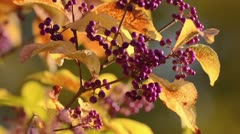 Japanese beautyberry (Callicarpa japonica) Stock Footage