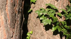 Common ivy (Hedera helix) and Scots pine (Pinus sylvestris) Stock Footage