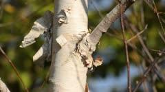 Himalayan birch (Betula utilis var. jacquemontii) Stock Footage