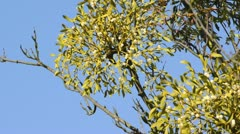 Mistletoe (Viscum album) Stock Footage