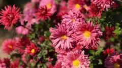 Chrysanthemum (Chrysanthemum) Stock Footage