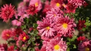 Stock Video Footage of Chrysanthemum (Chrysanthemum)