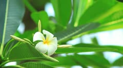 Frangipani Flower - stock footage