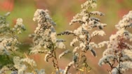 Stock Video Footage of Canada goldenrod (Solidago canadensis)