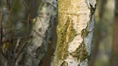 European white birch (Betula pendula) Stock Footage