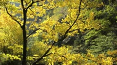 Norway maple (Acer platanoides) Stock Footage