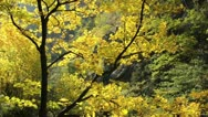 Stock Video Footage of Norway maple (Acer platanoides)