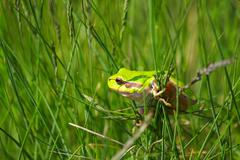 Tree frog climb on grass.JPG Stock Photos