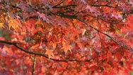 Stock Video Footage of Japanese maple (Acer palmatum)