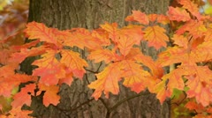 Northern red oak (Quercus rubra) Stock Footage