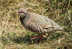 british game bird red legged partridge (alectoris rufa) - stock photo