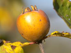 Medlar Stock Photos