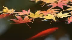 Maple leaves and goldfish in the water Stock Footage