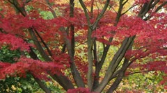 Japanese maple (Acer palmatum 'Autumn Glory') - stock footage
