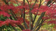 Stock Video Footage of Japanese maple (Acer palmatum 'Autumn Glory')