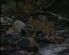 Mountain lion 2 Stock Footage