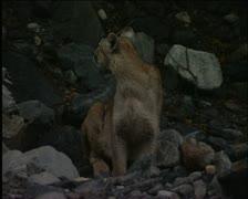 Mountain lion 4 Stock Footage