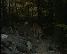 Mountain lion 7 Stock Footage