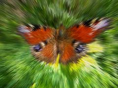 motley peacock eye - stock illustration