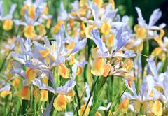 iris flower - stock photo